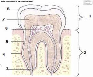 puzzel Menselijke tand