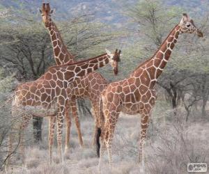 puzzel Mooie giraffen