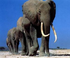 puzzel Olifanten lopen