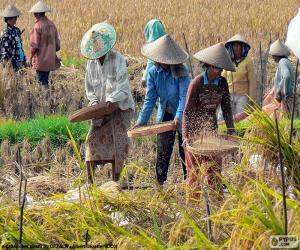 puzzel Oogsten van rijst, Indonesië
