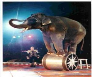 puzzel Opgeleid olifant die in een circus lopen op een cilinder
