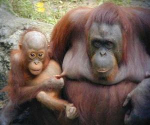puzzel orang-oetan met haar baby