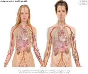 puzzel Organen van het lichaam