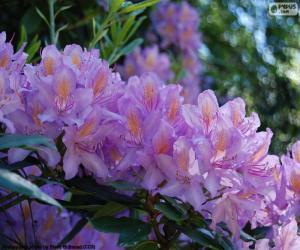 puzzel Paarse bloemen van azalea