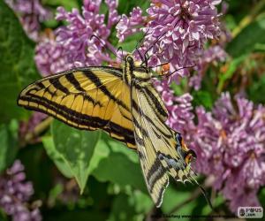 puzzel Papilio canadensis vlinder