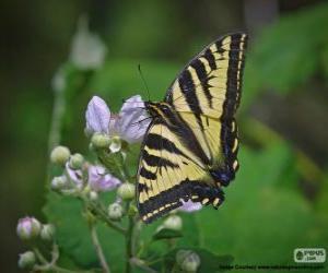 puzzel Papilio glaucus, vlinder inheems in oostelijk Noord-Amerika