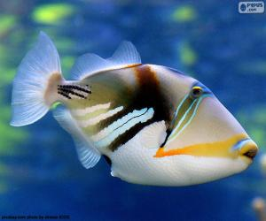 puzzel Picasso triggerfish