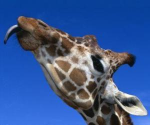 puzzel Portret van het hoofd van een prachtige giraffe