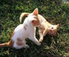 Kittens spelen