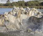 Kudde wilde paarden door het water