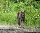 Euraziatische lynx of los met sterke benen, lange oren, korte staart en gevlekte vacht
