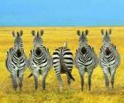 Vijf Zebra 's