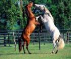 Twee steigerende paarden