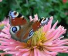 Prachtige vlinder met vleugels wijd open