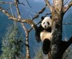 Panda op een boom