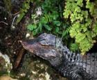 Hoofd van een krokodil op de loer voor een prooi tussen planten