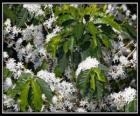 Koffie bloem