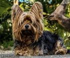 Terrier hond met lang haar
