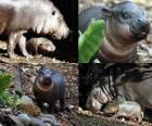 Pygmy Hippo op Taronga Zoo