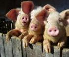 Als huisdier gehouden varkens