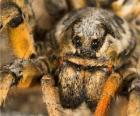 Een tarantula, Vogelspinnen, een grote spin met lange benen vol haren