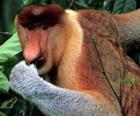 De neusaap (Nasalis larvatus) is een primaat uit de wouden van Borneo, de enige soort uit het geslacht Nasalis.