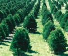 Kerstboom boerderij