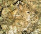 De borstel konijn