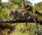 Jaguar op een boomtak