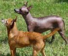 De Mexicaanse Naakthond is een zeldzame, haarloze ras van de hond waarvan de grootte varieert sterk. Het is ook wel bekend als Xoloitzcuintle