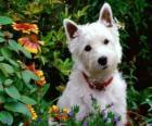 West Highland White Terrier is een ras van de hond van Schotland bekend om zijn persoonlijkheid en schitterend wit