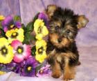 Australische Silky Terrier Puppy
