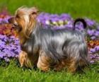 Australische Silky Terrier Australische Terrier of een terrier komt oorspronkelijk uit Australië