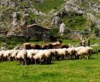 Herder zijn kudde verzorgen