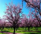 Bloeiende amandel bomen in het voorjaar van