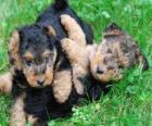 Welsh terriër puppy