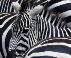 Zebra 's