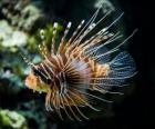 Gewone koraalduivel