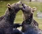 Twee beren in het water