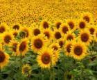 Zonnebloemen in het veld