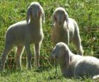 Drie lammeren