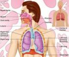 Ademhalingsstelsel (Engels)