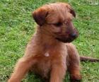 Ierse terriër puppy