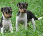 Braziliaanse Terriër Puppies