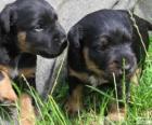 Duitse jachtterriër Puppies