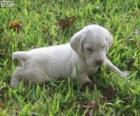 Spinone Italiano puppy