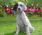 Engelse Setter puppy