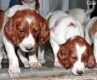 Ierse rode en witte Setter puppies