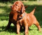 Ierse Setter puppy