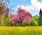 Cherry tree in het voorjaar van